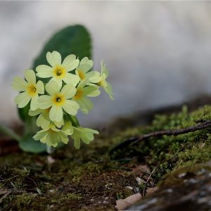 cowslip, spring, spring primrose